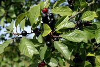 Frangula-alnus-fruits