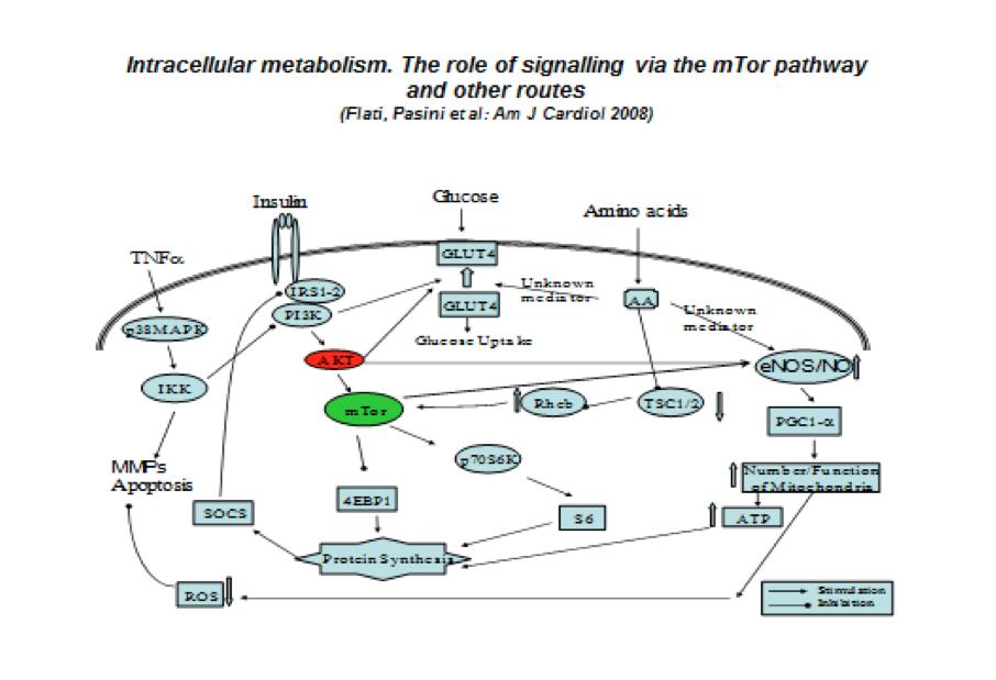 Vari stimoli regolano le razioni all'interno della cellula e ne regolano la sua vita. Di fatto, esiste uno stretto dialogo tra stimoli anabolici (insulina), catabolici (TNF) e nutrizionali/metabolici (glucosio, amino acidi). L'interazione di questi stimoli e il prevalere gli uni su gli altri induce sintesi proteica, mitocondriogenesi e produzione di energia oppure autofagia ed apoptosi con necrosi cellulare.