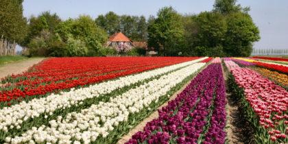 festival dei tulipani