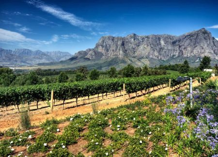 south-africa-stellenbosch-vineyards2