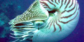 1280px-Nautilus_side