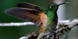 Il colibrì
